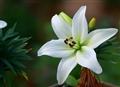 献上你生前最喜欢的百合花