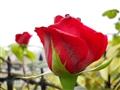 永不凋谢的玫瑰